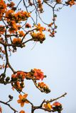 Ветвь blossoming дерева ceiba Bombax или красного цветка Silk хлопка Стоковое Изображение RF