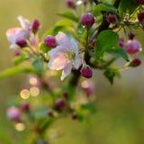 Ветвь blossoming дерева с красивыми розовыми цветками Стоковые Фотографии RF