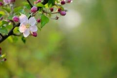 Ветвь blossoming дерева с красивыми розовыми цветками Стоковое Изображение