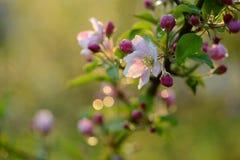 Ветвь blossoming дерева с красивыми розовыми цветками Стоковые Изображения RF