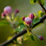 Ветвь blossoming дерева с красивыми розовыми цветками Стоковые Фото