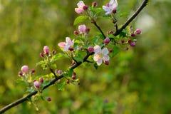 Ветвь blossoming дерева с красивыми розовыми цветками Стоковая Фотография RF