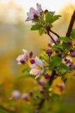 Ветвь blossoming дерева с красивыми розовыми цветками Стоковые Изображения