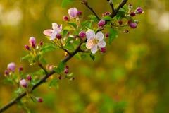 Ветвь blossoming дерева с красивыми розовыми цветками Стоковое фото RF