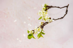 Ветвь blossoming изолированной сливы Стоковые Изображения RF
