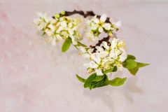 Ветвь blossoming изолированной сливы Стоковая Фотография RF