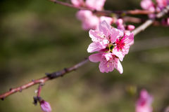 Ветвь blossoming персика Стоковые Изображения