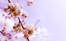 Ветвь blossoming поднимающего вверх вишневого дерева близкое стоковая фотография rf
