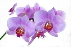 Ветвь blossoming розовой изолированной орхидеи Стоковое Изображение RF