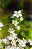 Ветвь blossoming сливы, конец-вверх 9 тюльпанов весны настроения пестроткаными установленных изображениями чудесных Стоковые Изображения RF