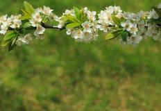 Ветвь blossoming сливы стоковое фото