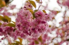 Ветвь blossoming японской вишни Стоковые Фото