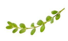 Ветвь Boxwood Стоковые Фото