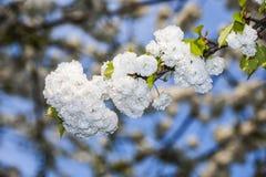 Ветвь Close-up цветеня весной Стоковые Фотографии RF