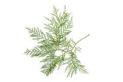 Ветвь Cypress Стоковая Фотография