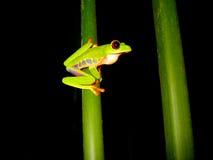 ветвь eyed вал лягушки красный сидя Стоковое Изображение