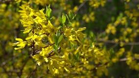Ветвь Forsythia с небольшими желтыми флаттерами цветков в светлом ветре весны на яркий солнечный день сток-видео