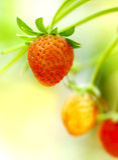 ветвь fruits клубника Стоковое фото RF
