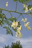 Ветвь Moringa oleifera с белым желтым цветком стоковые фото