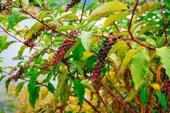 Ветвь Phytolatsts на дереве Стоковая Фотография