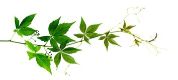 Ветвь quinquefolia parthenocissus Стоковые Изображения RF
