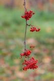 Ветвь rowanberry осени Стоковое фото RF
