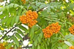 Ветвь Rowanberry Стоковое Изображение RF