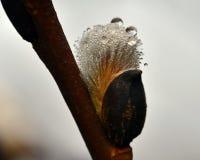 Ветвь Salix верб пропускать весной стоковые фотографии rf