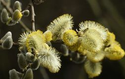 Ветвь Salix верб Pussy пропускать стоковые изображения