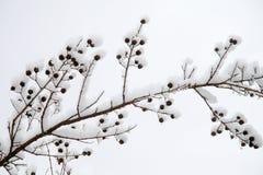 Ветвь Snowy в шторме зимы Стоковая Фотография RF