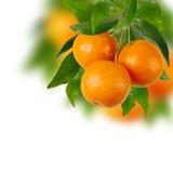 Ветвь tangerines Стоковое Фото