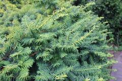 Ветвь Taxus Стоковые Фото