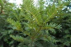 Ветвь yew с неполовозрелыми мужскими конусами Стоковая Фотография