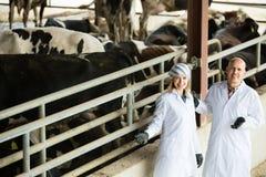 2 ветеринара заботя коровы в ферме Стоковое Изображение