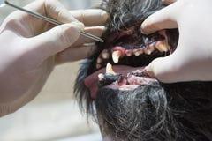 Ветеринарная обработка воспаления десен собаки Стоковое Изображение