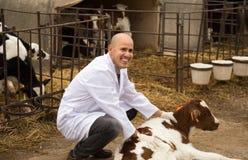 Ветеринарный техник работая с milky коровами в outdoo cowhouse Стоковые Изображения RF