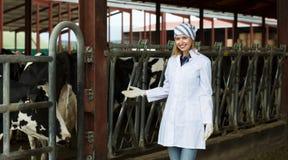Ветеринарный техник с молочными скотами Стоковое фото RF