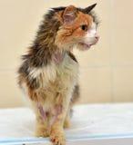 Ветеринары кота Стоковые Изображения RF
