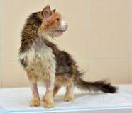 Ветеринары кота Стоковые Фото