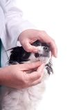 Ветеринар и собака, чихуахуа стоковое фото