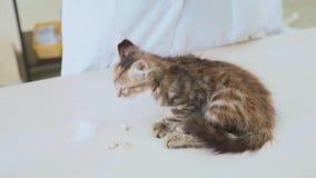 Ветеринар очищает уши маленького котенка на ветеринарной клинике акции видеоматериалы