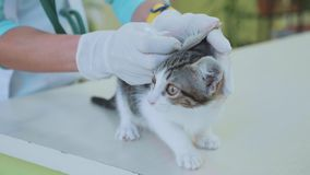 Ветеринар очищает уши маленького котенка на ветеринарной клинике видеоматериал