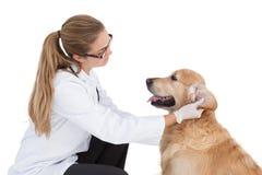 Ветеринар проверяя на labrador стоковые изображения rf