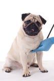 Ветеринар проверяя собаку мопса при стетоскоп изолированный на белизне стоковое изображение