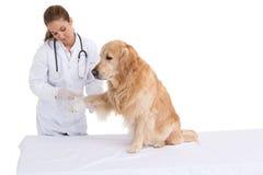 Ветеринар проверяя labrador Стоковое Фото