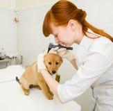 Ветеринар рассматривая dog& x27; ухо s с otoscope стоковые фотографии rf