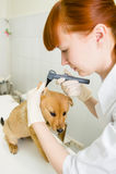 Ветеринар рассматривая dog& x27; ухо s с otoscope Стоковые Изображения