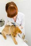 Ветеринар рассматривая dog& x27; ухо s с otoscope Стоковое фото RF