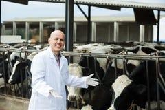 Ветеринар с коровами в ферме поголовья стоковая фотография