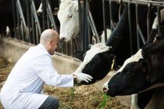 Ветеринар с коровами в ферме поголовья стоковые фото